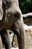 Elefantkopf Stockfoto