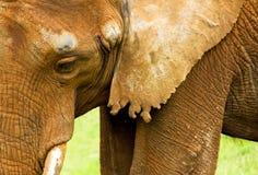 Elefantkopf Stockfotografie