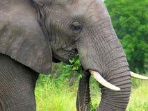 Elefantkopf Lizenzfreies Stockbild