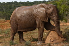 Elefantkuhaufstellung. Stockbild