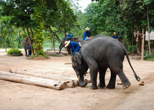 Elefantläger Royaltyfria Foton