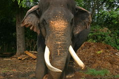 elefantlankasri Arkivfoton