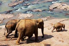 elefantlankasri Arkivbilder