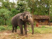 elefantlankasri Fotografering för Bildbyråer