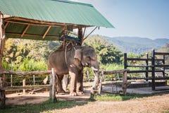 Elefantlantgården fostrades för turister, asiatisk elefant arkivbild