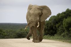 ElefantLebensstil in Südafrika Lizenzfreies Stockfoto