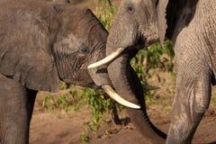 elefantlek Fotografering för Bildbyråer