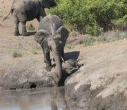 ElefantLifesaving Royaltyfria Bilder