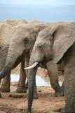 Elefantlivstidsstil i South Africa Arkivbilder