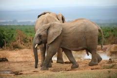 Elefantlivstidsstil i South Africa Royaltyfri Foto