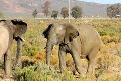 Elefantmöte Royaltyfri Foto