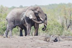 Elefantmötenoshörning arkivfoto