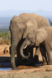 Elefantmamma und -tochter Stockbilder