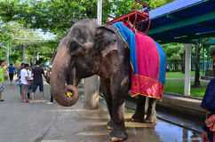 elefantmatning Arkivfoton