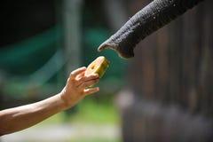 elefantmatning Arkivfoto