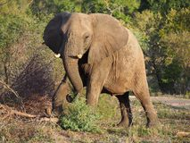 Elefantmatning Royaltyfria Foton