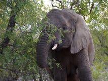 Elefantmatning Royaltyfria Bilder