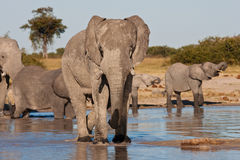 elefantmatriarch Arkivbild