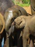 Elefantmoder och kalv Royaltyfri Bild