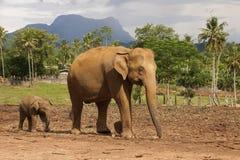 Elefantmodern med behandla som ett barn i pinnawalaelefantbarnhemmet, Sri L Royaltyfri Fotografi