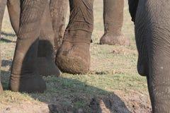 Elefantmund Stockbilder