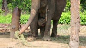 Elefantmutter und -baby stock footage