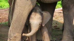 Elefantmutter und -baby stock video footage