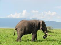 elefantngorongoro tanzania Arkivbild