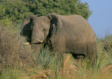 elefantokavango arkivfoton