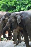 Elefantpacke Arkivbilder