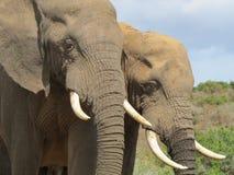 Elefantpar Arkivfoton