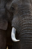 Elefantporträt Lizenzfreie Stockfotos