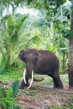Elefantporträt mit den großen Stoßzähnen im Dschungel Stockbild