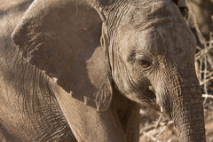 Elefantportrait stockfotos