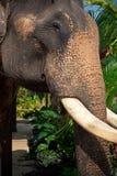Elefantportrait Stockfoto