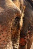 Elefantportrait, Abschluss oben stockfoto