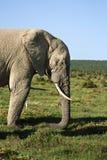 elefantprofil Royaltyfri Bild