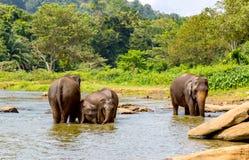 Elefants в реке джунглей Стоковое фото RF