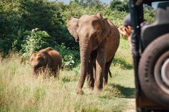Elefants на сафари в национальном природном парке Udawalawe в Sri Lank Стоковые Изображения