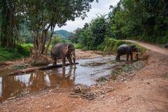2 elefants стоя в реке в дождевом лесе святилища Khao Sok, Таиланда Стоковое Фото