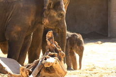 Elefants Royalty Free Stock Image