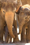 elefants royaltyfria bilder