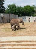 Elefants Стоковая Фотография RF