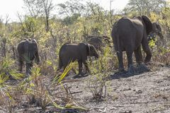 Elefants in the bush of Kruger Park, South Africa. Elefants in the bush of Kruger Park South Africa stock images