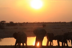 Elefants in de zonsondergang Stock Foto's