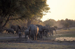 Elefants drinking, Botswana. Royalty Free Stock Images
