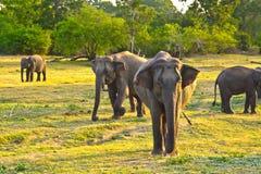 Elefants sauvages dans la jungle Image libre de droits