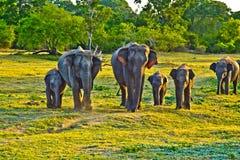 Elefants selvagens na selva fotos de stock royalty free