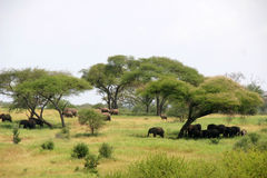 Elefants in Serengeti Royalty-vrije Stock Foto