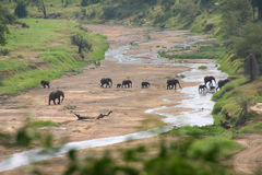 Elefants at Serengeti. Elephants crossing a dried out riverbed the Serengeti national park in Tanzania stock photo